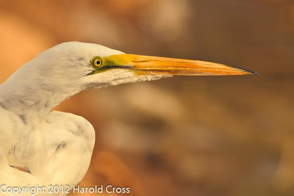 A Great Egret taken Feb. 8, 2012 in Tucson, AZ.