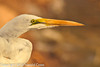 A Great Egret taken Feb. 8, 2012 in Tucson, AZ.