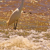 A Snowy Egret taken July 21, 2011 near Las Cruces, NM.