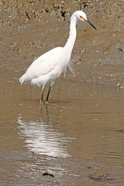 A Snowy Egret taken April 17, 2010 near Arcata,CA.