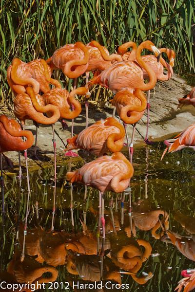 Caribbean Flamingos taken July 19, 2012 in Albuquerque, NM.