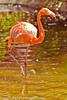 A Caribbean Flamingo taken July 19, 2012 in Albuquerque, NM.