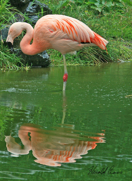 A Chilean Flamingo taken Jul 23 2009 in Eureka, CA.