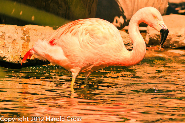 A Chilean Flamingo taken Feb. 25, 2012 in Tucson, AZ.