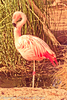 A Chilean Flamingo taken Feb. 22, 2012 in Tucson, AZ.