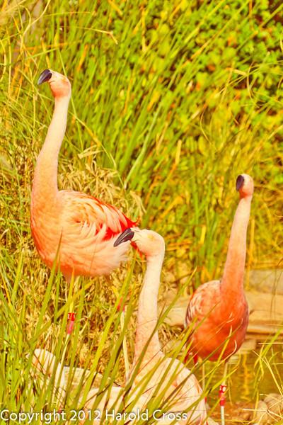 Chilean Flamingos taken Feb. 25, 2012 in Tucson, AZ.