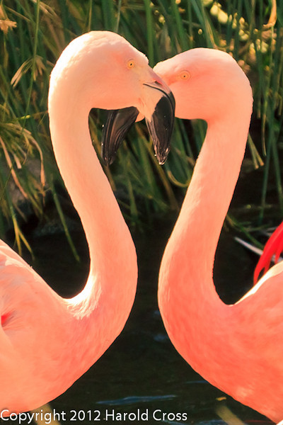 Chilean Flamingos taken Feb. 25, 2012 in Tucson, AZ.