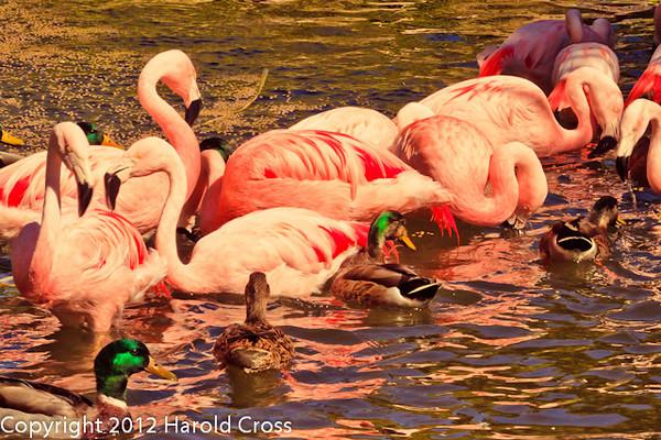 Chilean Flamingos and Mallards taken Feb. 25, 2012 in Tucson, AZ.