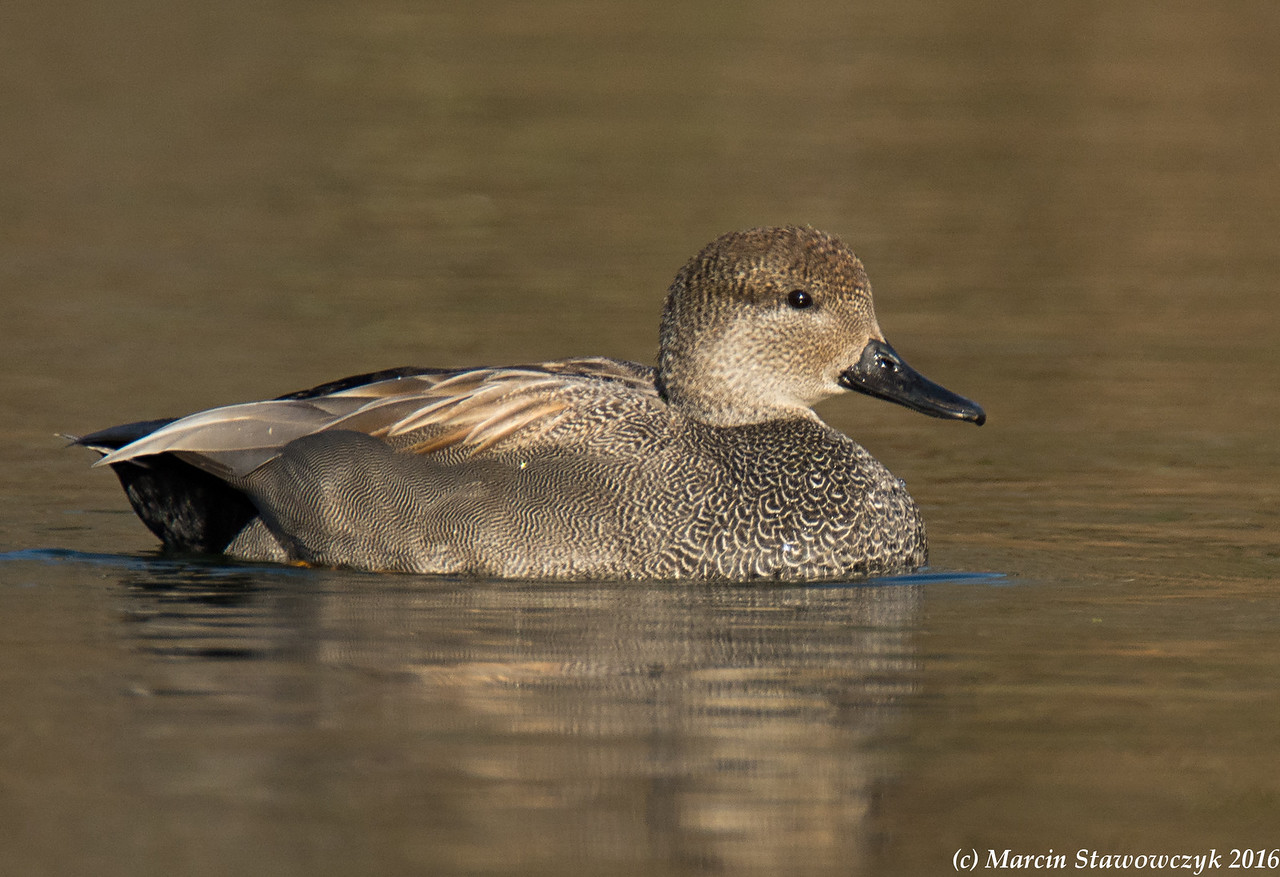 Profile of gadwall