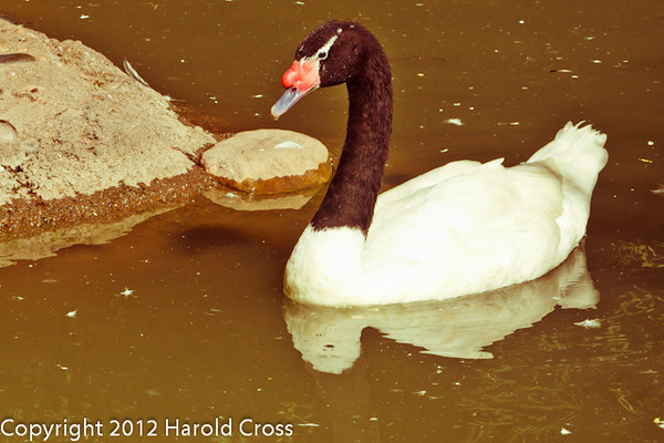 A Black-necked Swan taken Jun. 27, 2012 in Salt Lake City, UT.