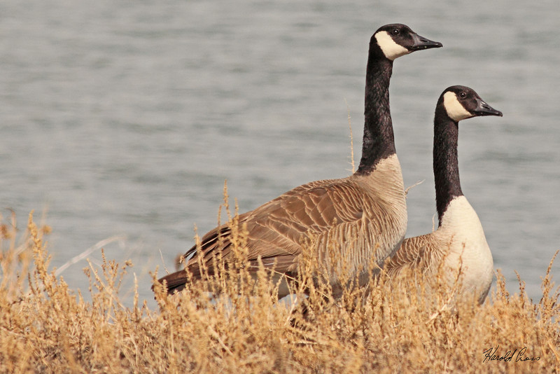 Canada Geese taken Mar 28, 2010 near Fruita, CO.