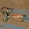 Canada Geese taken Mar. 23, 2011 near Fruita, CO.
