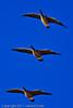 Canada Geese taken Nov. 29, 2011 near Fruita, CO.