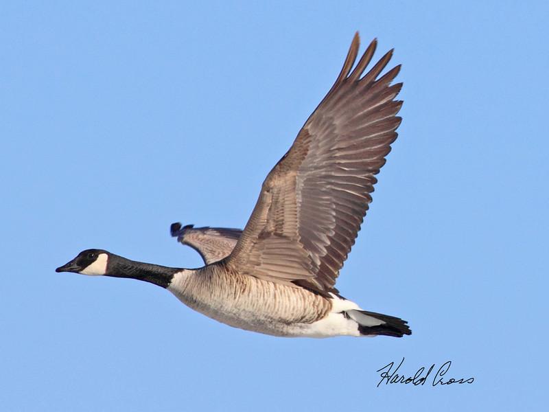 A Canadian Goose taken Jan 6, 2010 in Grand Junction, CO.