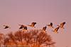 Canada Geese taken Jan. 12, 2012 in  Fruita, CO.