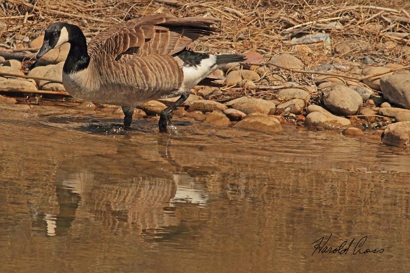 A Canada Goose taken Mar. 23, 2011 near Fruita, CO.