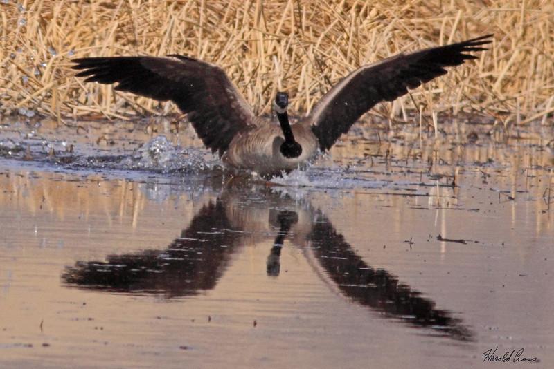 A Canadian Goose taken Mar 16, 2010 near Delta, CO.