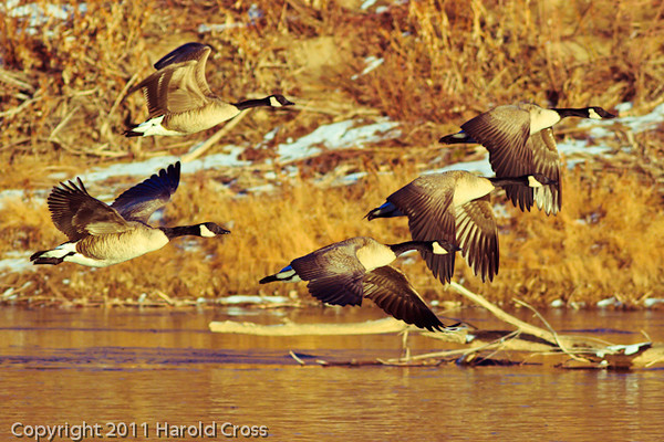 Canada Geese taken Dec. 23, 2011 in Grand Junction, CO.