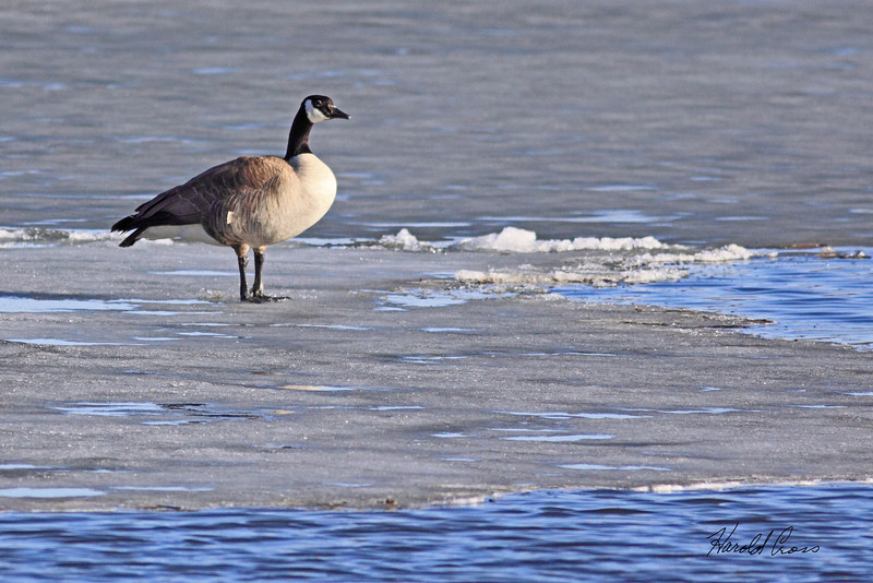 A Canadian Goose taken Mar 21, 2010 near Delta, CO.