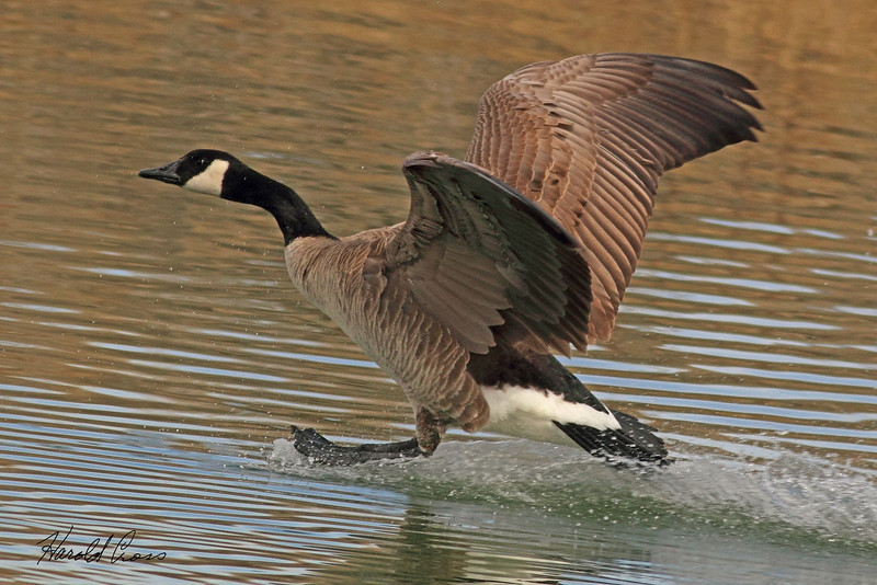 A Canada Goose taken Mar. 14, 2011 in  Fruita, CO.