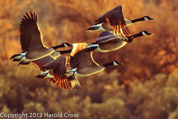 Canada Geese taken Jan. 17, 2012 in Fruita, CO.