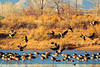 Canada Geese taken Jan. 17, 2012 in Fruita, CO.