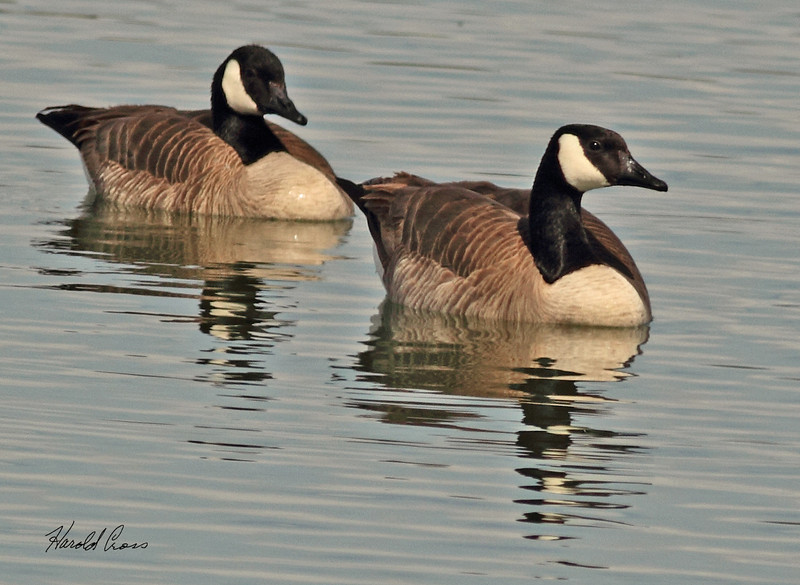 Canada Geese taken Mar. 14, 2011 in  Fruita, CO.