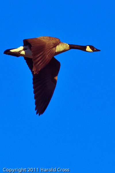 A Canada Goose taken Dec. 23, 2011 in Grand Junction, CO.