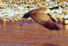A Canada Goose taken Dec. 23, 2011 in Grand Junction, CO.