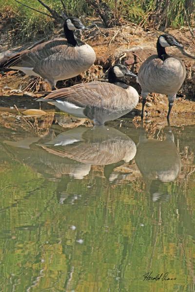 Canada Geese taken Sep 14, 2010 near Fruita, CO.