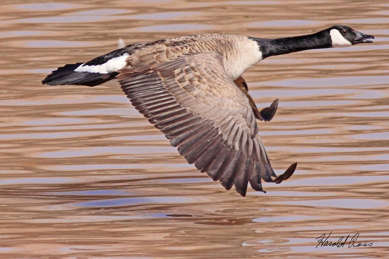 A Candian Goose taken Mar 14, 2010 in Grand Junction, CO.