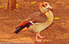 An Egyptian Goose taken Feb. 25, 2012 in Tucson, AZ.