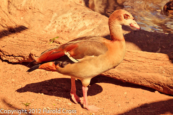 An Egyptian Goose taken Feb. 20, 2012 in Tucson, AZ.