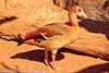 An Egyptian Goose taken Feb. 20, 2012 in Tucson, AZ.