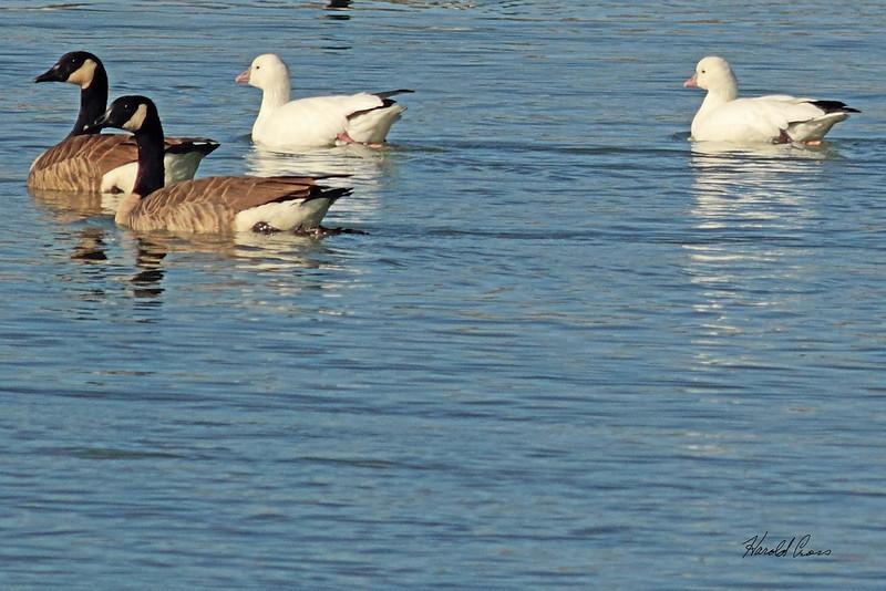 Ross's Geese with Canada Geese taken Nov. 1, 2010 near Fruita, CO.