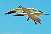 Snow Geese taken Jan. 31, 2012 near Socorro, NM.