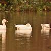 Snow Geese taken Feb 10, 2010 in Gilbert, AZ.