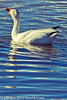 A Snow Goose taken Jan. 31, 2012 near Socorro, NM.