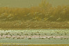 Snow Geese taken Nov. 2, 2011 near Socorro, NM.