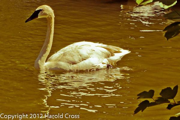 A Trumpeter Swan taken Jun. 27, 2012 in Salt Lake City, UT.