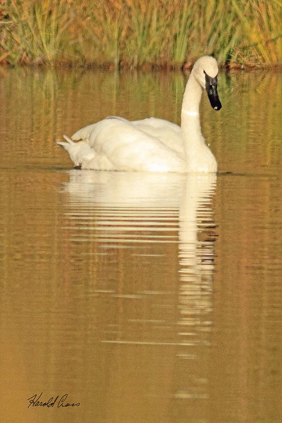 A Trumpeter Swan taken Sep 28, 2010 in Yellowstone National Park, WY.