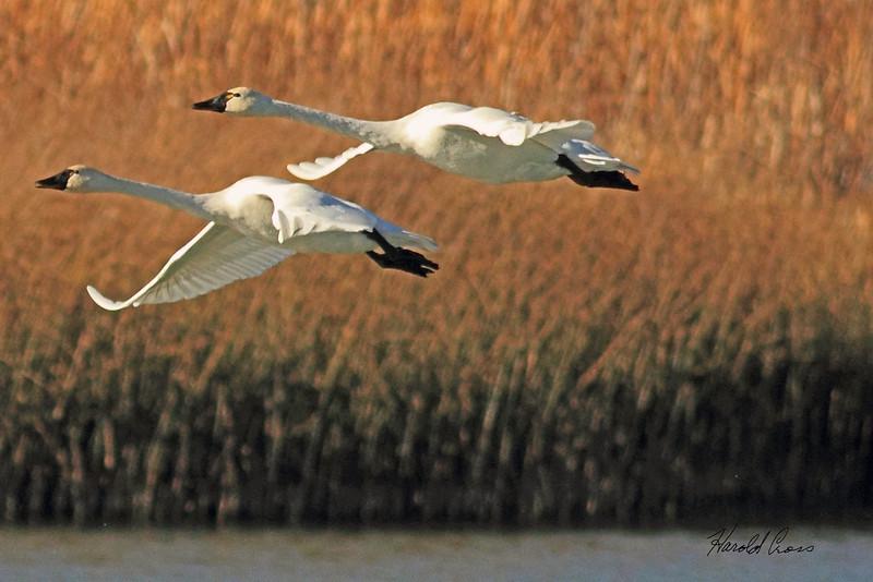 Tundra Swans taken Nov. 1, 2010 near Fruita, CO.