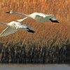 Tundra Swans taken Nov. 1, 2010 near Fruita, CO.