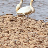 Tundra Swans  taken Feb 25, 2010 in Grand Junction, CO.