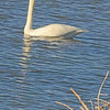 A Tundra Swan taken Nov. 1, 2010 near Fruita, CO.