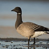 Another brant