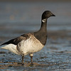 Brant at low tide