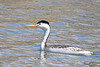 A Clark's Grebe taken Apr 8, 2010 in Fruita, CO.