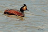 An Eared Grebe taken May 2, 2011 near Fruita, CO.