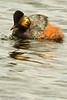 An Eared Grebe taken June 7, 2011 near Ely, NV.
